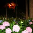 紫陽花ライトアップ
