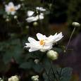 八重秋明菊(白)