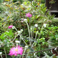 八重秋明菊